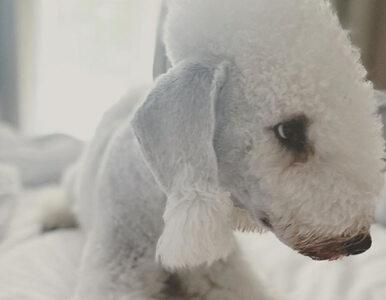 Poznajcie Antona, obok którego nie da się przejść obojętnie. To pies...