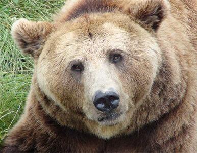 Tatry: uwaga na rannego niedźwiedzia