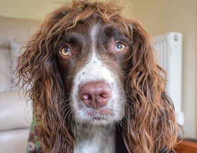 """Ten pies wygląda jak Robert Plant. Uwagę zwraca jego nietypowa """"fryzura"""""""