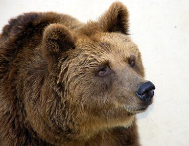 """Poszukiwania niedźwiedzia zakończone. """"W lesie jest bezpiecznie"""""""