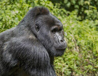 Zabójca Rafiki, najsłynniejszego goryla górskiego w Ugandzie został...