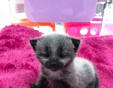 Tego maleńkiego kotka znaleziono na poboczu ruchliwej drogi. Jest...