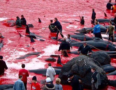 Krwawa rzeź grindwali i wielorybów na Wyspach Owczych. Aktywiści...