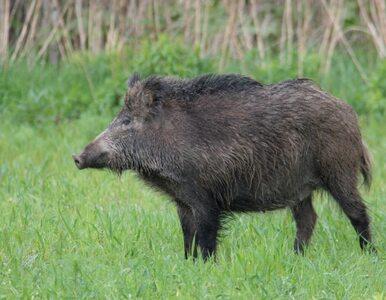 Kolejne przypadki ASF u padłych dzików przy granicy z Białorusią