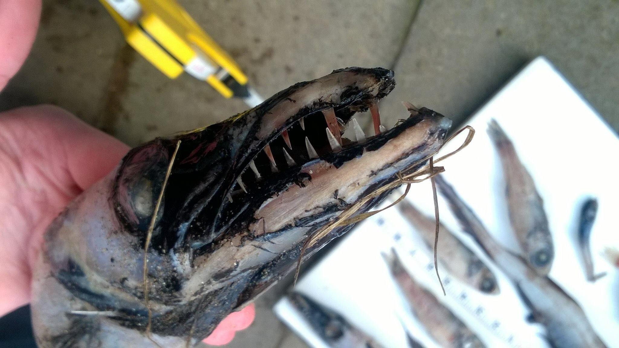 Przerażająca ryba wyłowiona u wybrzeży Szkocji