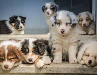 Psy pomogą w wykrywaniu koronawirusa? Lekarze komentują pomysł Brytyjczyków