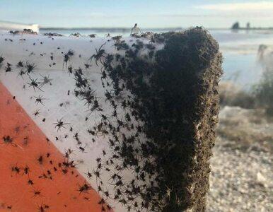 Tysiące pająków na autostradzie w USA. Efektowne gęste sieci robią wrażenie