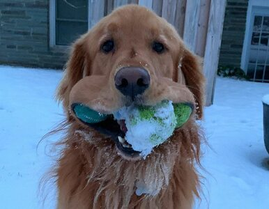Ten pies potrafi zmieścić w pyszczku sześć piłeczek tenisowych. Pobił...