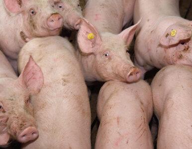 USA domagają się zaostrzenia kontroli polskiej wieprzowiny. Grozi nam...