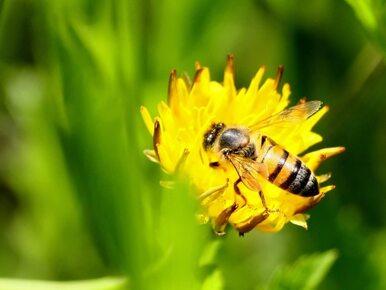 Jad pszczeli zamiast botoksu?
