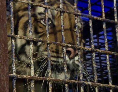 Tygrysy z granicy dotarły do zoo w Poznaniu. Zwierzęta są w fatalnym stanie