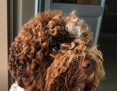 Niezwykłe psy lagotto romagnolo. Tylko one potrafią znaleźć trufle