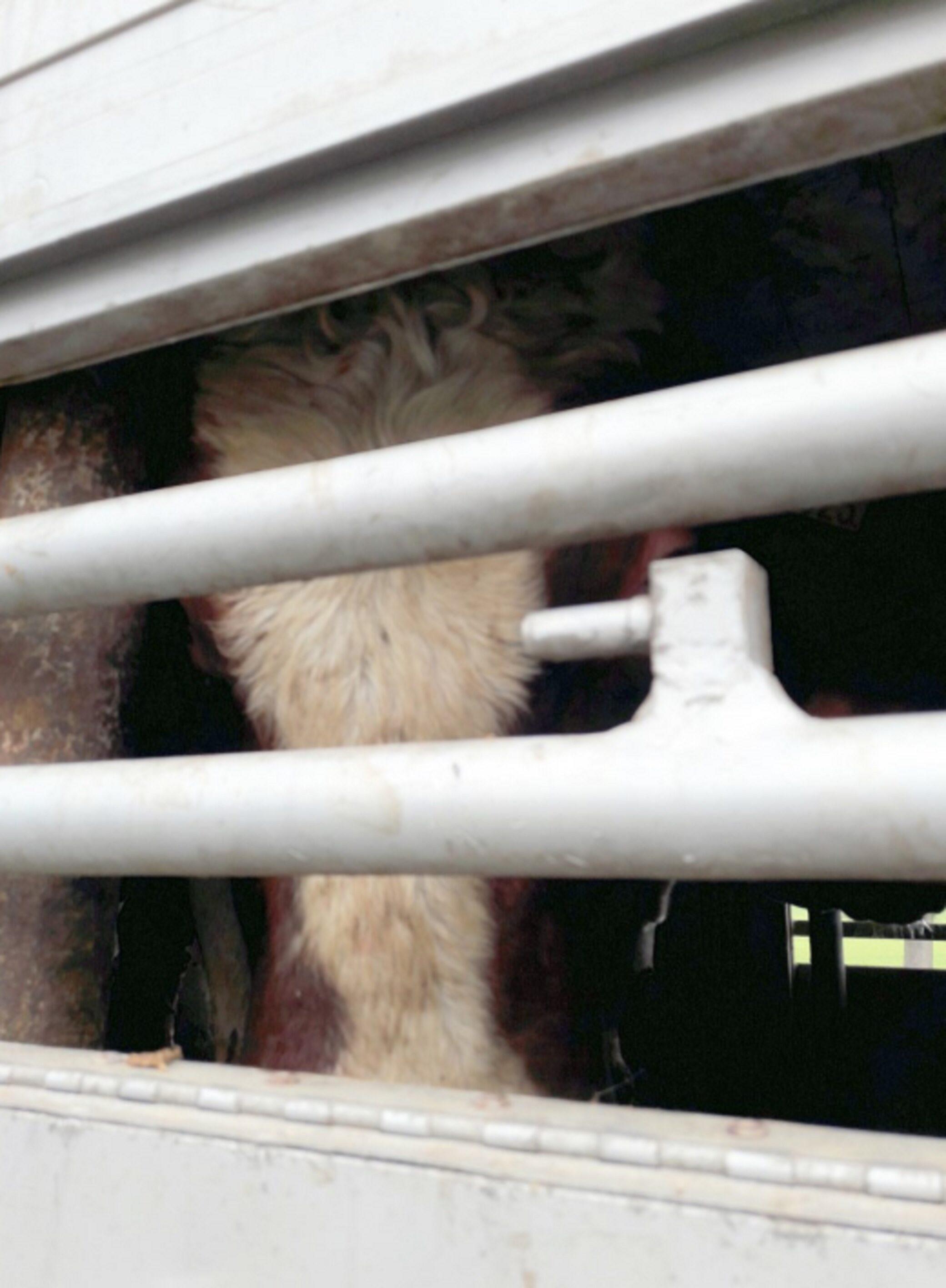 Kolejne przypadki nieprawidłowego przewozu bydła