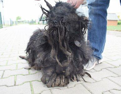 Skrajnie zaniedbany pies Stefan. TOZ pokazało, w jakich warunkach żył...