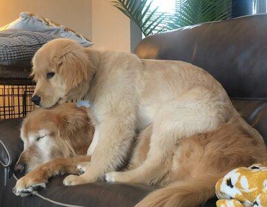 Niewidomy pies zyskał przewodnika. To odmieniło jego życie
