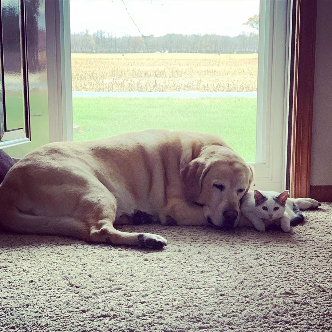 Labrador adoptował kota